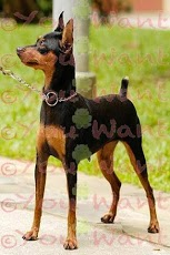 miniature pinscher wallpapers version 1 2 by youwant with miniature