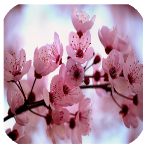 CHERRY BLOSSOMS BACKGROUNDS HD