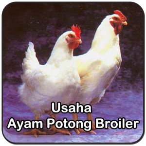 Tips Usaha Ayam Potong Broiler hybrid broiler project report