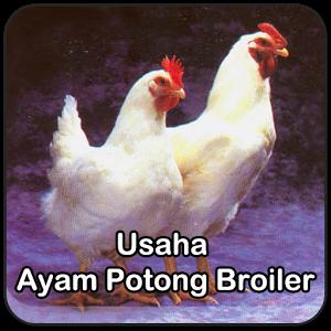 Tips Usaha Ayam Potong Broiler hybrid broiler project report