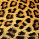 Leopard Print HD Wallpaper