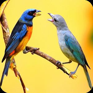 Birds Sound Effect Ringtone