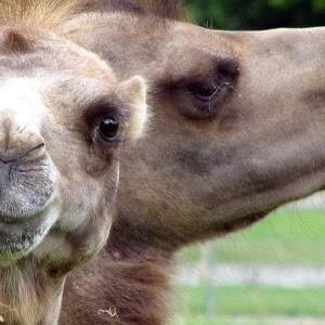 Cute Camels Wallpaper Images