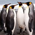 Handsome Penguins HD penguins