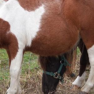 Miniature Horses Wallpapers