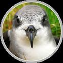 Madeira Petrel