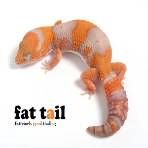 fat tail tv