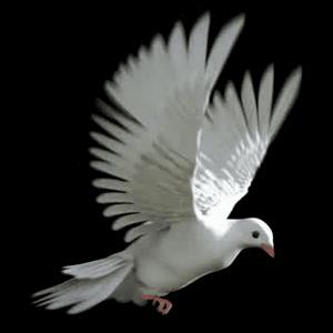 Flap Pigeon Flap