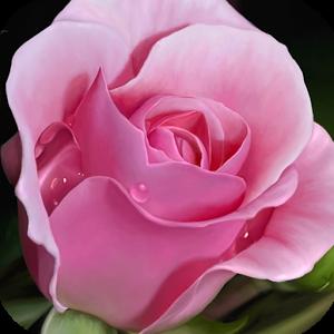 PINK ROSES HD WALLPAPER