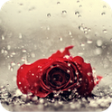 A lonely rose in the rain