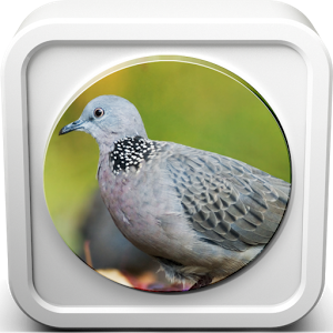 Spotted Dove Sound Collections