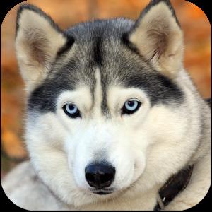 природа животное собака морда хаски  № 3886618 бесплатно