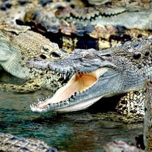 Crocodile Wallpapers HD FREE