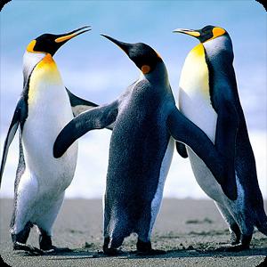 Penguins! penguins