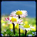 Daisy Flowers Free Wallpaper